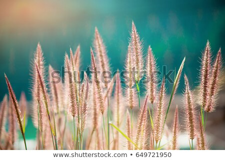 field of wheat with flowers. soft focus Stock photo © mycola
