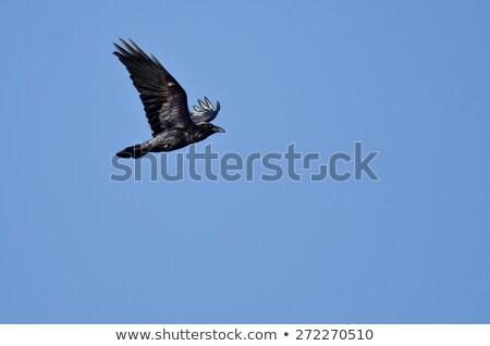 Raaf vliegen blauwe hemel zon natuur schoonheid Stockfoto © meinzahn