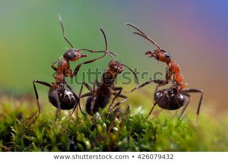 Grupo formigas reunir-se reunião isolado branco Foto stock © Anterovium