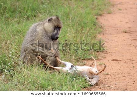 Сток-фото: бабуин · саванна · дороги · пыльный · игры · резерв