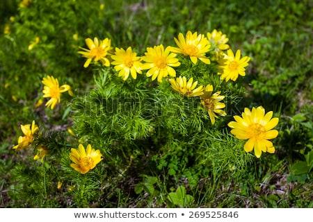 Belo primavera flores amarelas olho flor natureza Foto stock © pixachi