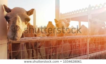 deve · yeme · çim · hayvanat · bahçesi · gıda · doğa - stok fotoğraf © zhukow