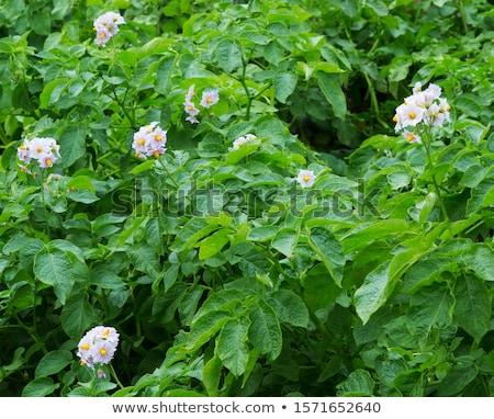 Krumpli növény virágzó fehér virágok zöld kert Stock fotó © Mps197