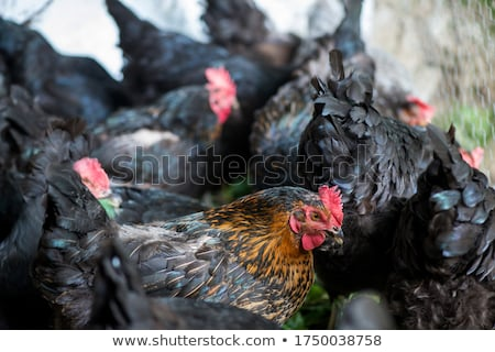 feeding hen or chicken group at henhouse farmyard Stock photo © FrameAngel