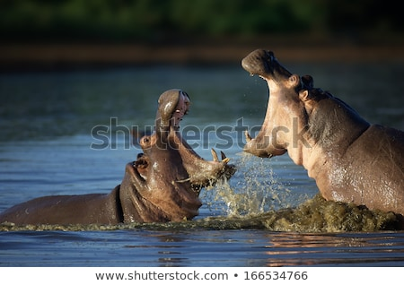 Two fighting hippos (Hippopotamus amphibius) Stock photo © michaklootwijk