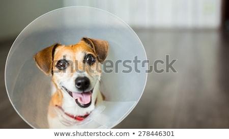 Zdjęcia stock: Uśmiechnięty · weterynarz · psa · stożek · medycznych · pokój