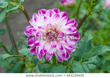 белый желтый Purple георгин саду Сток-фото © tang90246