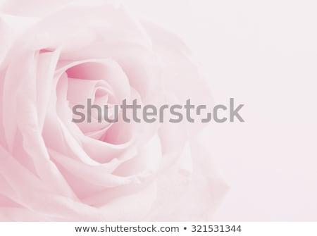 tiro · rosa · macro · natureza - foto stock © mroz