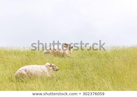Owiec trawy morza lata wolności Zdjęcia stock © Kzenon