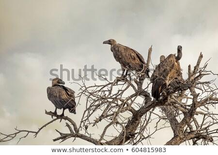 Fa park Dél-Afrika természet madár állatok Stock fotó © simoneeman