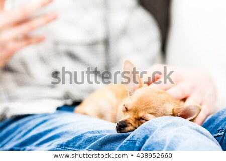 Small brown chihuahua dog asleep on a lap stock photo © Giulio_Fornasar