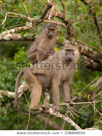 Baboon sitting in the bush Stock photo © bluering