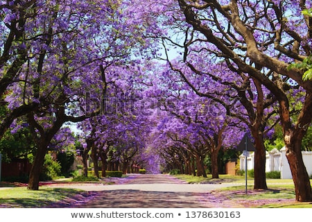 jacaranda trees Stock photo © lienkie