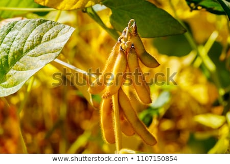 Close up of ripe soybean crop pods in cultivated field Stock photo © stevanovicigor