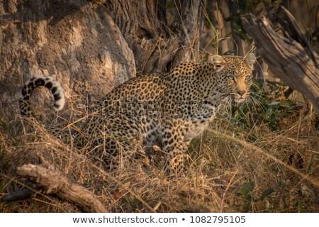 Leopar oturma ağaç park Güney Afrika hayvanlar Stok fotoğraf © simoneeman