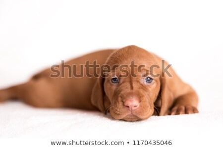 hungarian vizsla portrait in a white photo studio stock photo © vauvau