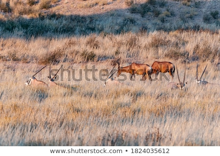 Red hartebeest laying in the grass. stock photo © simoneeman