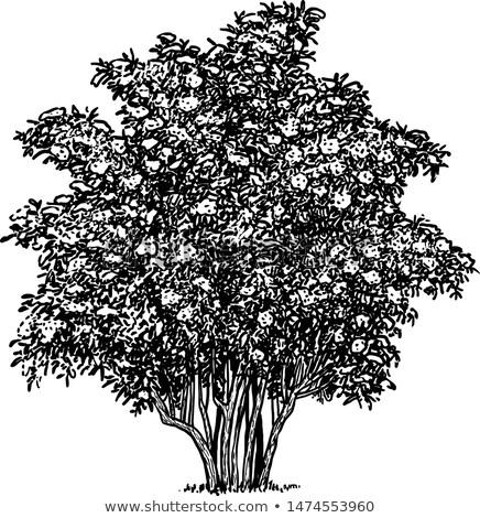 Blüte Holunder Busch selektiven Fokus Baum Stock foto © stevanovicigor