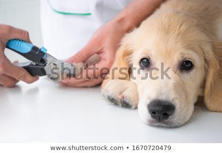 frans · bulldog · dierenarts · onderzoeken · tabel · dier - stockfoto © oleksandro