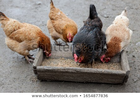 Domesticated Chickens.  Stock photo © pixelmemoirs