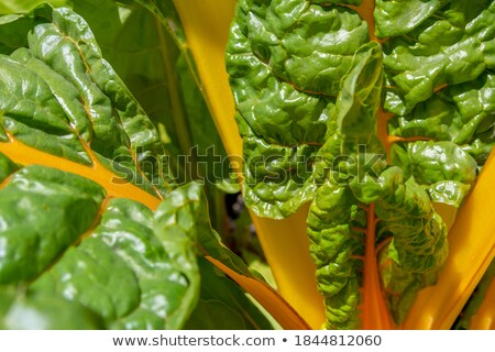 Lush Swiss chard plant with large green leaves Stock photo © sarahdoow