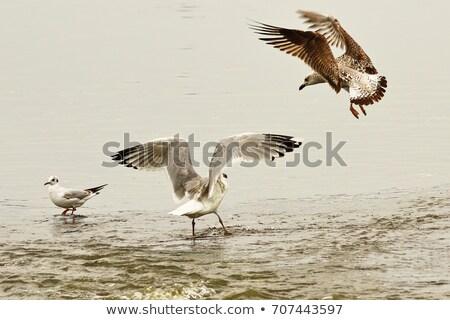 two caspian gulls fighting for fishing spot stock photo © taviphoto