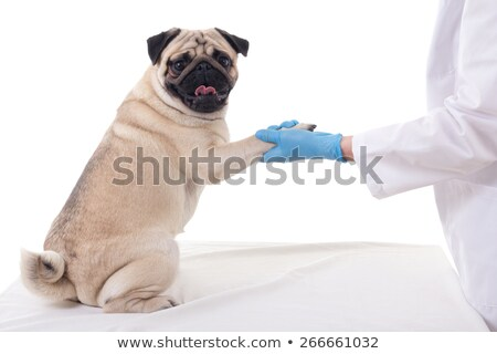 Cute puppy dog with bandage on paw shaking hands with veterinary Stock photo © ilona75