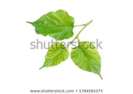 verde · folha · isolado · branco · primavera - foto stock © ungpaoman