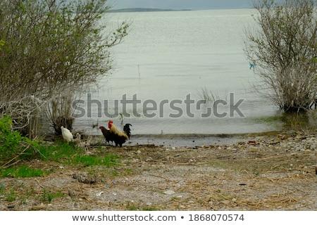 петух цыплят реке иллюстрация искусства фермы Сток-фото © colematt