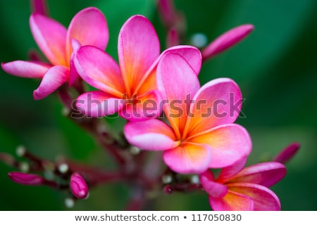 Stock photo: Branch of tropical pink flowers frangipani plumeria on dark green leaves background