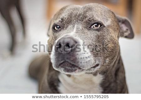 Close portrait of an adorable Bull terrier Stock photo © vauvau