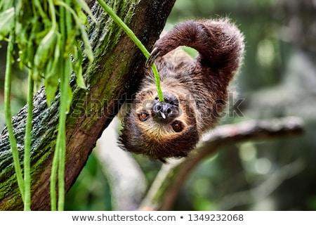 Two-Toed Sloth Stock photo © photoblueice