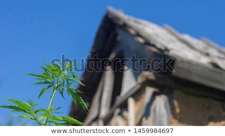 kenevir · esrar · sigara · yeşil · yaprak · yalıtılmış · beyaz - stok fotoğraf © prill