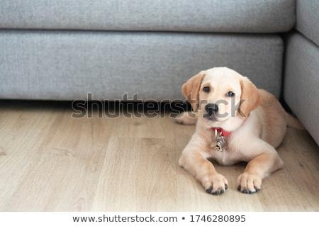 labrador · chiot · timide · peu · noir - photo stock © feedough