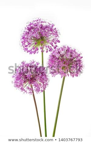 Stock photo: Ornamental allium flower
