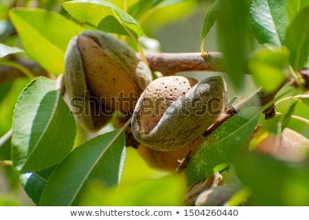 Mandula dió gyümölcsfa szabadtér ősz fa Stock fotó © juniart