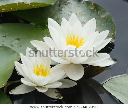 fehér · rügy · tavacska · virág · levél · zöld - stock fotó © ozaiachin