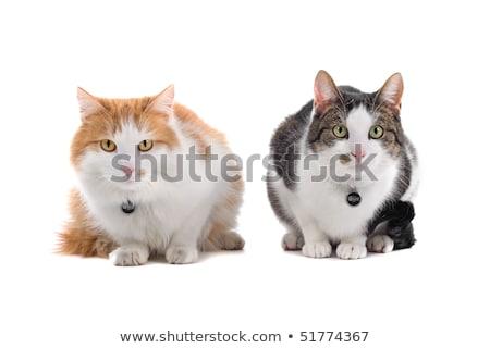 ストックフォト: 2 · ヨーロッパの · 猫 · 孤立した · 白 · 顔