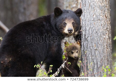 Female Black Bear and Cub stock photo © fotomine