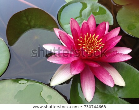 Pink Water Lillies  Beijing China Stock photo © billperry