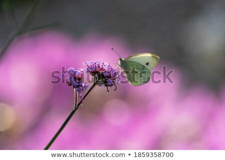 Makro atış kelebek çiçek ışık Stok fotoğraf © snyfer