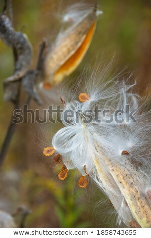 Milkweed Releasing Seeds Stock photo © wolterk
