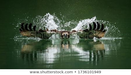 hermosa · rojo · halcón · fondo · aves - foto stock © taden