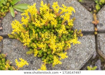 Yellow Sedum acre (Goldmoss Stonecrop, Biting Stonecrop) Stock photo © tainasohlman