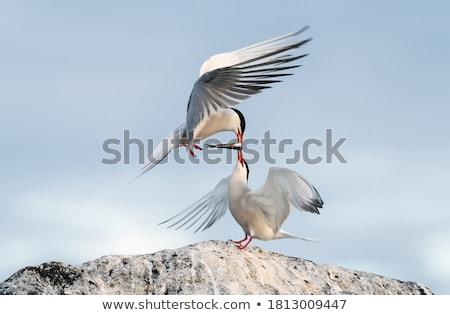 adult common tern in flight Stock photo © taviphoto