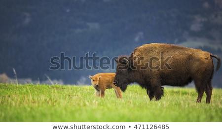 Bizon matki dzieci lasu lata Zdjęcia stock © emattil