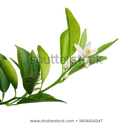 マンダリン 葉 自然 オレンジ 緑 デザート ストックフォト © mady70