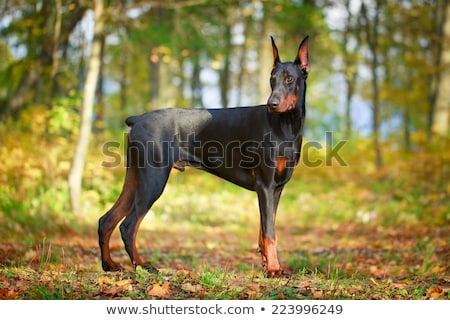 doberman pinscher Stock photo © willeecole