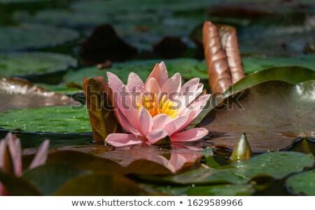Beautiful pink water lily bud Stock photo © juniart