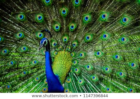 Pauw dansen vogel Blauw veer wildlife Stockfoto © chris2766